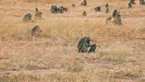 Mother and baby baboon in Masai Mara stock video footage