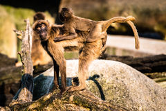 Mother and baby baboon Stock Image