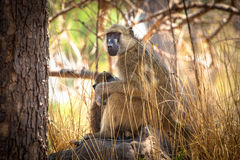 Mother and baby Baboon. In South Africa Stock Photo