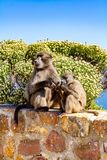 Baboons at Cape Point stock photography