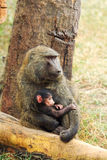 Mother and baby baboons Royalty Free Stock Images