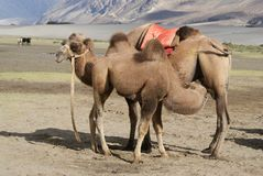 Mother and baby bactrian camel in desert Nubra valley Stock Image