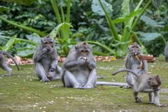 mother and baby Balinese long-tailed monkey at Monkey Temple For royalty free stock photos