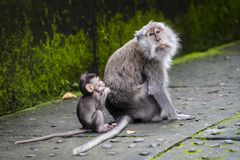 Balinese long-tailed monkey at Monkey Temple, Ubud. Mother and baby Balinese long-tailed monkey at Monkey Temple, Ubud Royalty Free Stock Photo