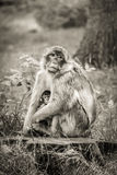 Mother and baby Barbary Macaque monkey. Stock Images