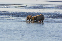Mother and Baby Bear Feeding on Salmon Stock Photo