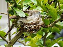 Mother and baby bird in nest. For food from the parent birds royalty free stock image