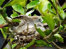 Mother and baby bird in nest. For food from the parent birds stock photos