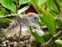 Mother and baby bird in nest. For food from the parent birds stock image