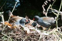 Mother and baby birds nesting on a river nest. Mother and baby. Family of birds nesting on a river nest stock photo