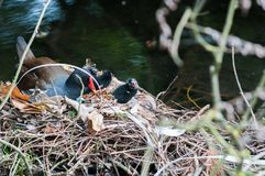 Mother and baby birds nesting on a river nest. Mother and baby. Family of birds nesting on a river nest royalty free stock image