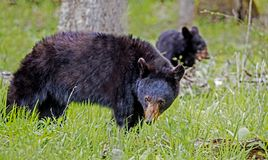A mother and baby Black Bear in green grass. Cades Cove, a Black Bear walking through green grass stock photography