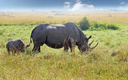 Mother and baby Black Rhinoceros on the plains in the masai mara. Mother and Calf Black Rhinocerous Diceros bicornis on the vast open plains of the Masai Mara stock photo