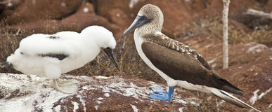 Mother and baby blue-footed boobies Royalty Free Stock Photography
