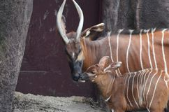 Mother and baby bongo Royalty Free Stock Image