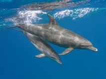 Mother and baby bottlenose dolphins swimming underwater in the s. Ea royalty free stock images