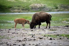 Mother and baby buffalo Stock Images