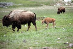 Mother and baby buffalo Royalty Free Stock Images