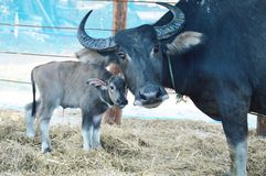 Mother and baby buffalo. In the farm Royalty Free Stock Photo