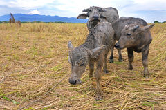 Mother and baby buffaloes. Mother and baby buffaloes in a rice field,Thailand Royalty Free Stock Photography
