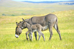 Mother and Baby Burro. A mother and baby burro standing in a field of grass at Custer State Park, South Dakota Royalty Free Stock Photo