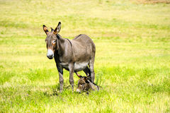 Mother and Baby Burro. A mother and baby burro  in a field of grass at Custer State Park, South Dakota Royalty Free Stock Image