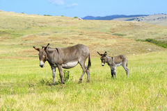 A mother and baby burro. In custer state park south dakota Royalty Free Stock Image