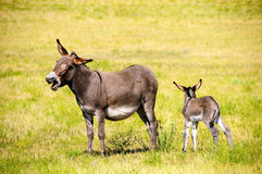 Mother and Baby Burro. A mother burro braying with her foal next to her at Custer State Park, South Dakota Stock Photo