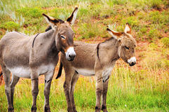Mother and Baby Burro Royalty Free Stock Photography