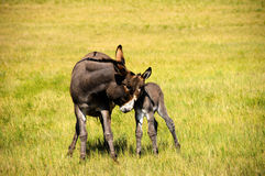 Mother and Baby Burro. A mother and baby burro at Custer State Park, South Dakota Stock Image