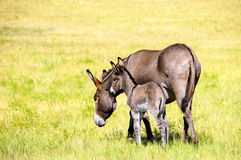 Mother and Baby Burro. A mother and baby burro in a green field in Custer State Park South Dakota Royalty Free Stock Image