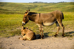 Mother and Baby Burro. A mother burro standing next to her baby lying down Royalty Free Stock Image