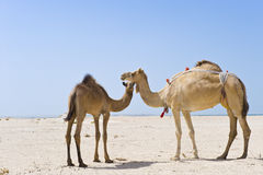 Mother and baby camels Stock Images