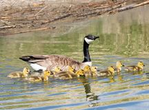 Mother and Baby Canada Geese. A mother and baby Canada Geese in a pond at Market Lake Wildlife Refuge in Idaho stock photography