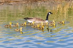Mother and Baby Canada Geese. A mother and baby Canada Geese in a pond at Market Lake Wildlife Refuge in Idaho stock image