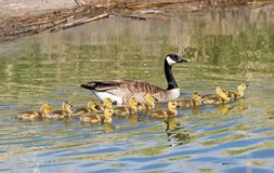 Mother and Baby Canada Geese. A mother and baby Canada Geese in a pond at Market Lake Wildlife Refuge in Idaho royalty free stock photo