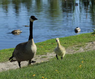 Mother and baby. Canada goose and gosling out for a walk Stock Photography