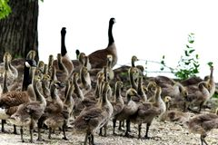 Mother and baby Canadian geese walking towards the water. For a swim royalty free stock photos