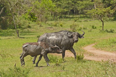 Mother and Baby Cape Buffalo after a mud bath Royalty Free Stock Images