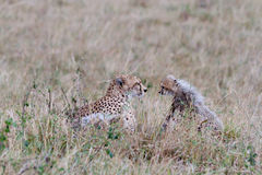 Mother and baby cheetah face each other Royalty Free Stock Photo