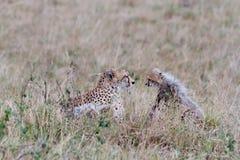Mother and baby cheetah face each other. Amongst the Masai Mara savannah grass. Kenya Royalty Free Stock Photo