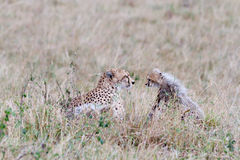 Mother and baby cheetah face each other. Amongst the Masai Mara savannah grass. Kenya Stock Image