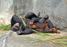 Mother and baby chimp. Showing love stock photography