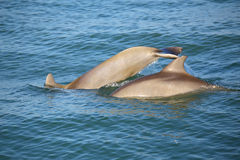 Mother and baby Common bottlenose dolphins diving Royalty Free Stock Photos