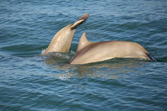 Mother and baby Common bottlenose dolphins diving Stock Image