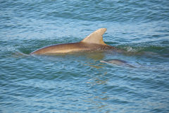 Mother and baby Common bottlenose dolphins swimming Royalty Free Stock Image