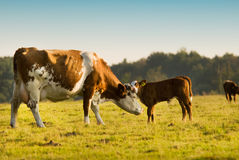Mother and baby cow Stock Photography