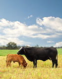Mother and baby cow Australian bred beef cattle Stock Images
