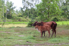 Mother and baby cow Royalty Free Stock Image