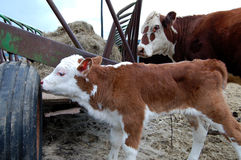 Mother Baby Cow Stock Photo